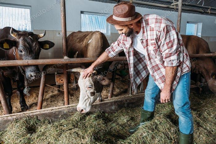 bärtiger Landwirt Fütterung Kühe mit Heu im Stall