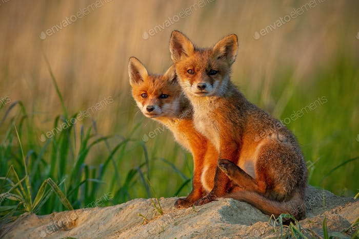 Red fox cubs at sunset curiously looking in camera