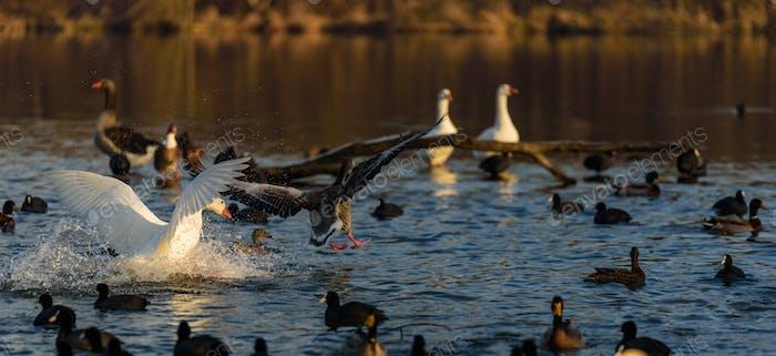 Graue Gans landen am Wasser. Vogel Hintergrund