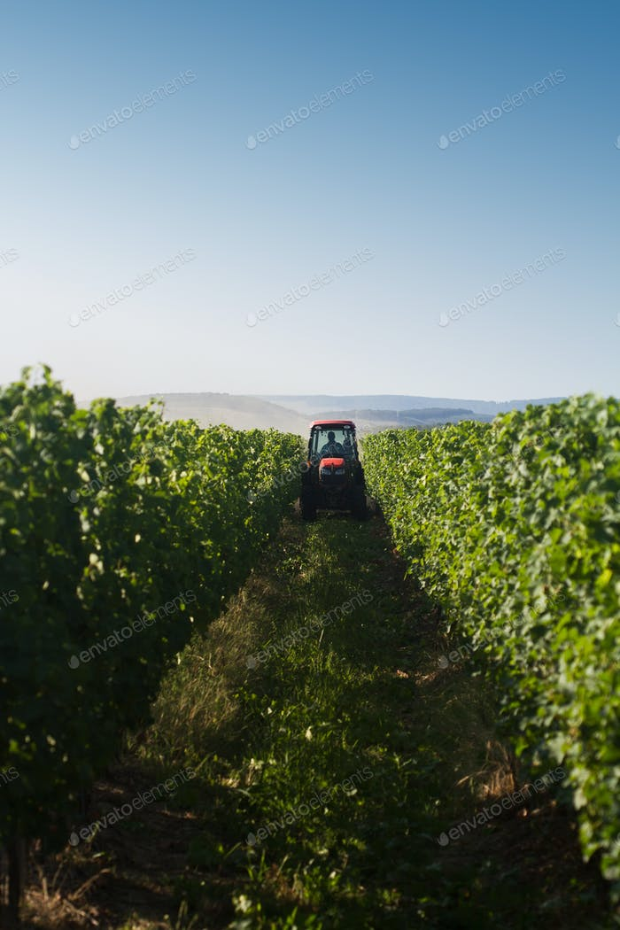 roter Traktor, der im Weinberg arbeitet