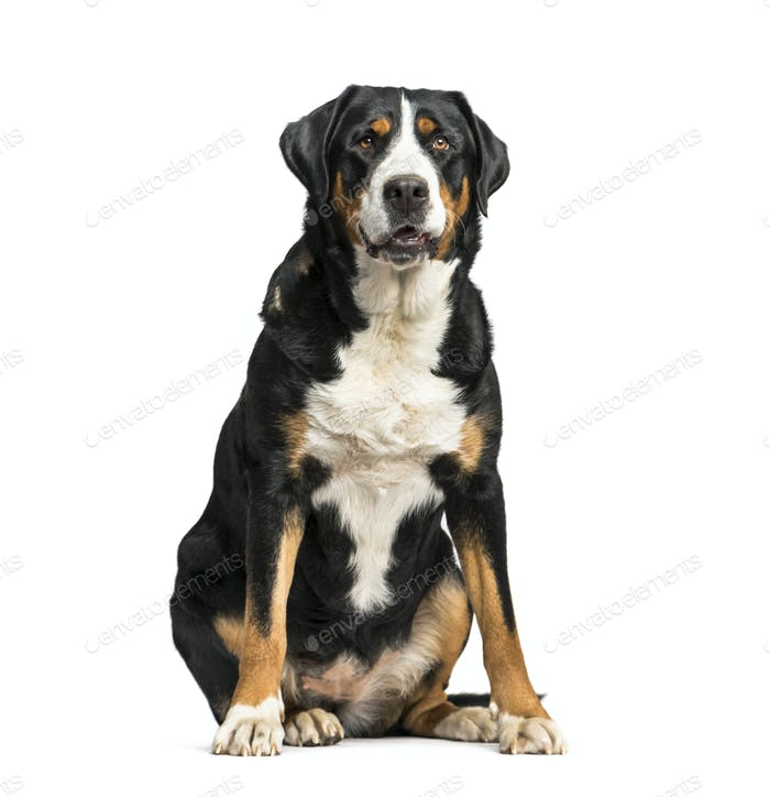 Panting Greater Swiss Mountain Dog sitting, isolated