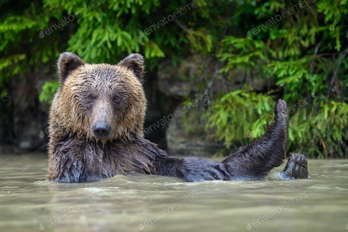 Lustiger wilder Erwachsener Braunbär (Ursus Arctos) im Wasser