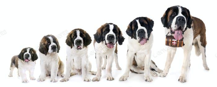 saint bernards in studio