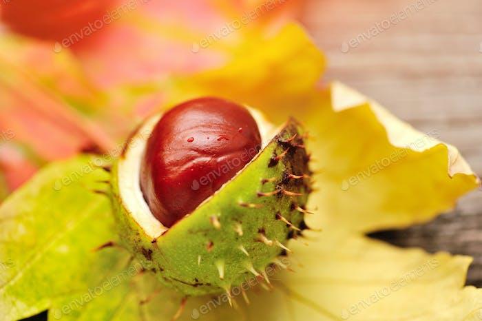Frische Kastanien auf Hintergrund Herbstblätter