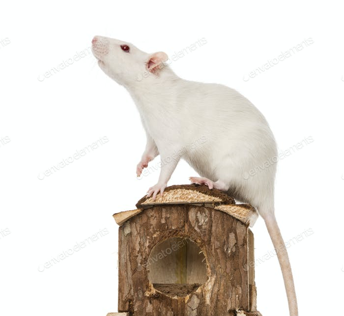 Rat (8 months old) standing on a mouse house
