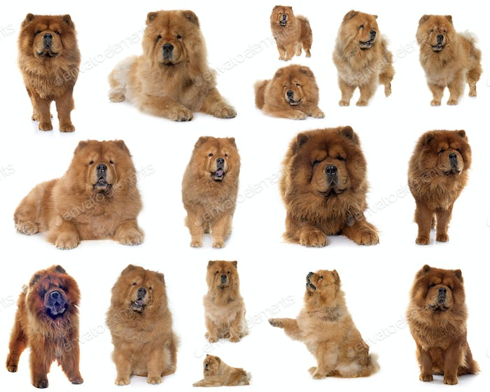 group of chow chow