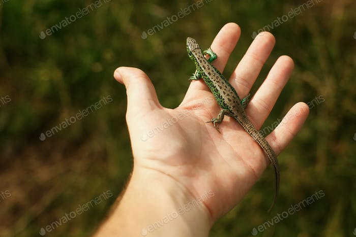 Man holding green lizard in his hand in summer mountains