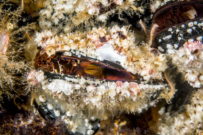 Colorful mussels on a reef in California