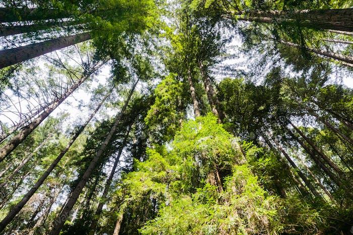Redwood Wald