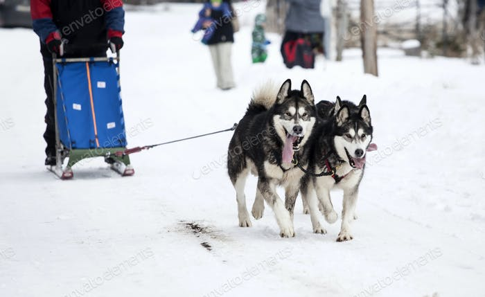 Sledding with husky dogs in Romania