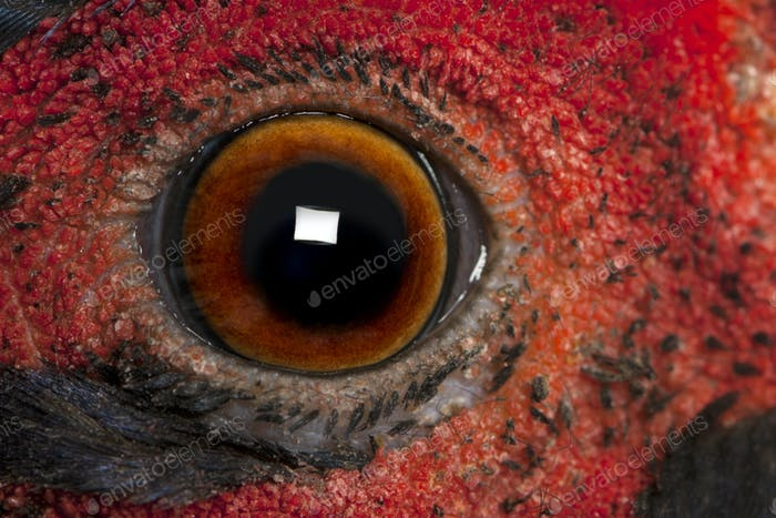 Close up of Male American Common Pheasant, Phasianus colchicus, eye