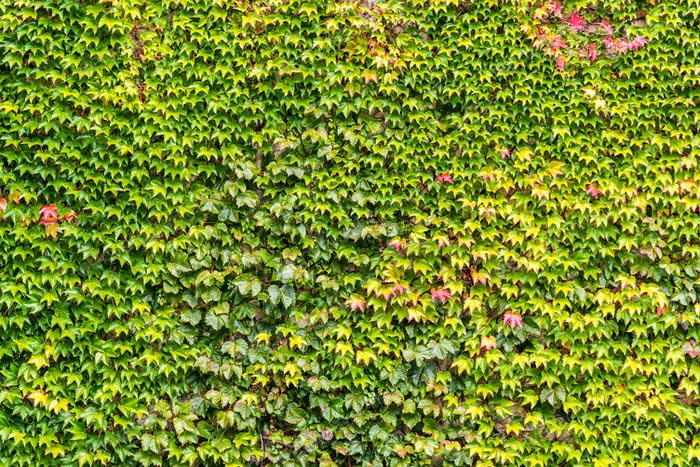 Ivy plant cocering red brick wall texture