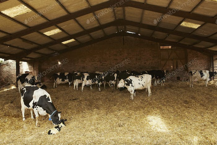 A herd of cows under cover in a barn feeding on hay, one nuzzling a calf.