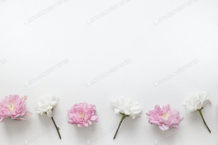 Flowers chrysanthemum row on white background. Flat lay, top view. Spring pastel background.