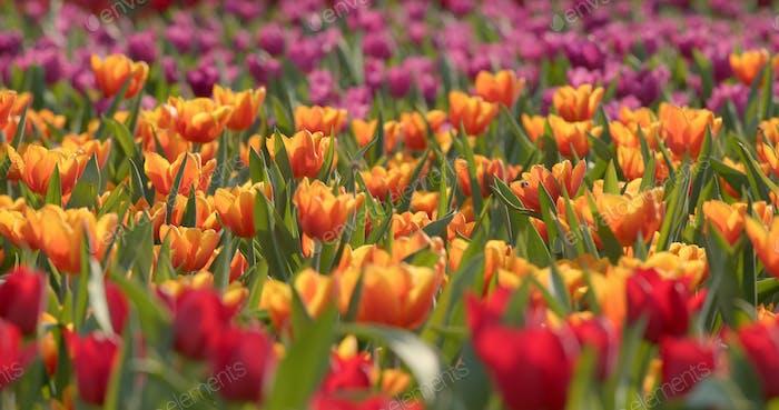 Beautiful tulip in the park