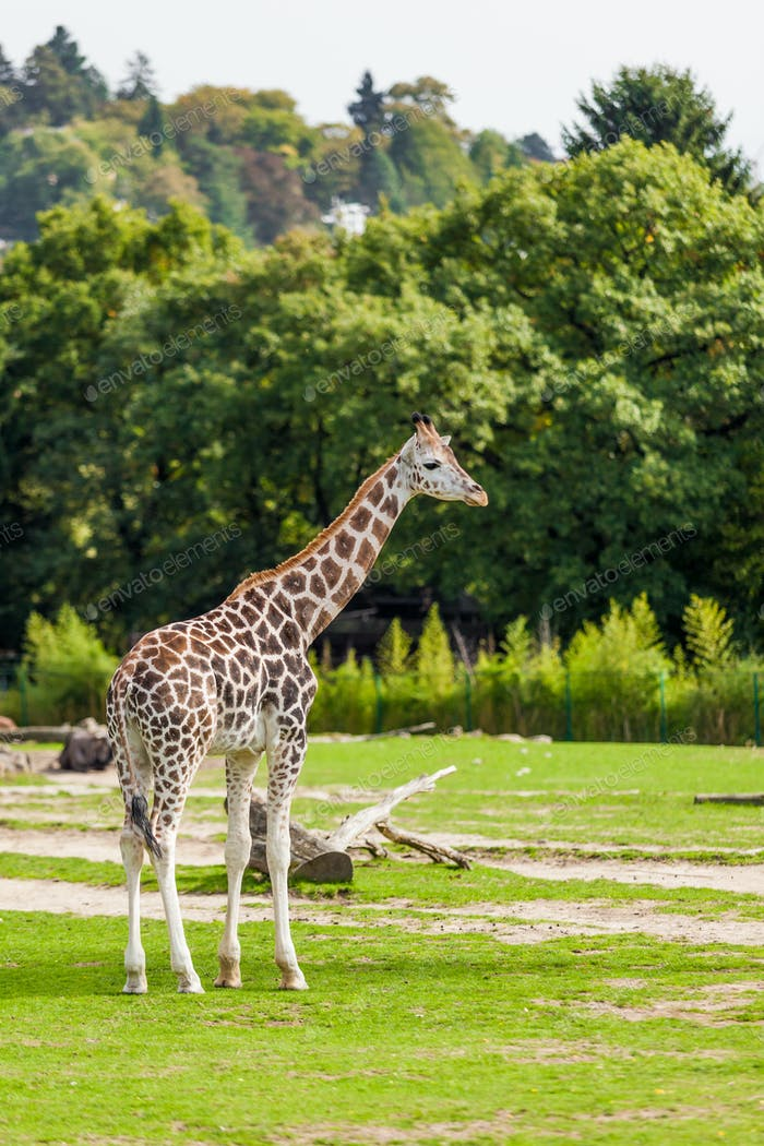 giraffes in the zoo safari park