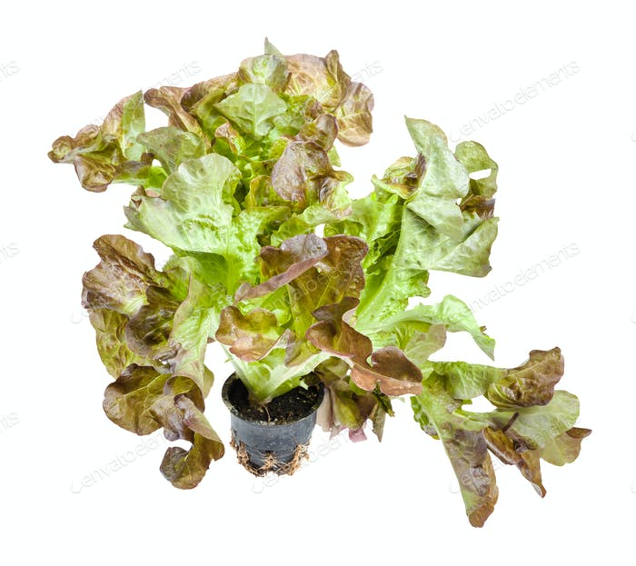 fresh leaves of Oak leaf lettuce in pot isolated