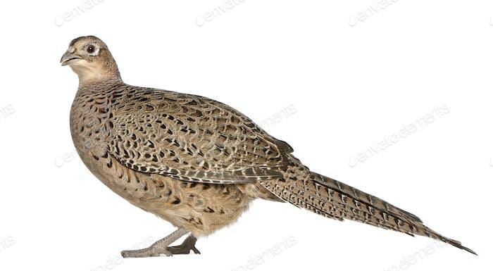 Portrait of Female Golden Pheasant or 'Chinese Pheasant', Chrysolophus pictus