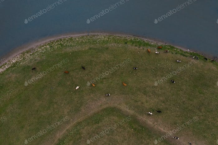 Top view grazing cows on river bank