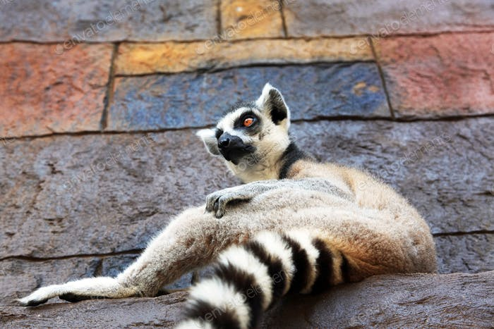 Wildlife animal - lemur