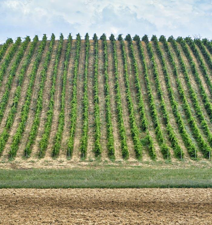 Vineyards near Zaffignana (Piacenza, Italy)