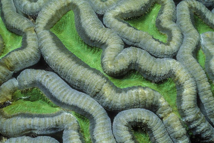 Pattern on Brain coral. Close up or ridged coral on a green background