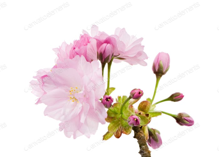 Isolated twig with pink cherry blossoms