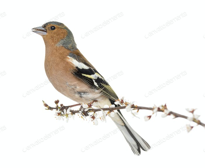 Common Chaffinch perched on branch, whistling isolated on white - Fringilla coelebs