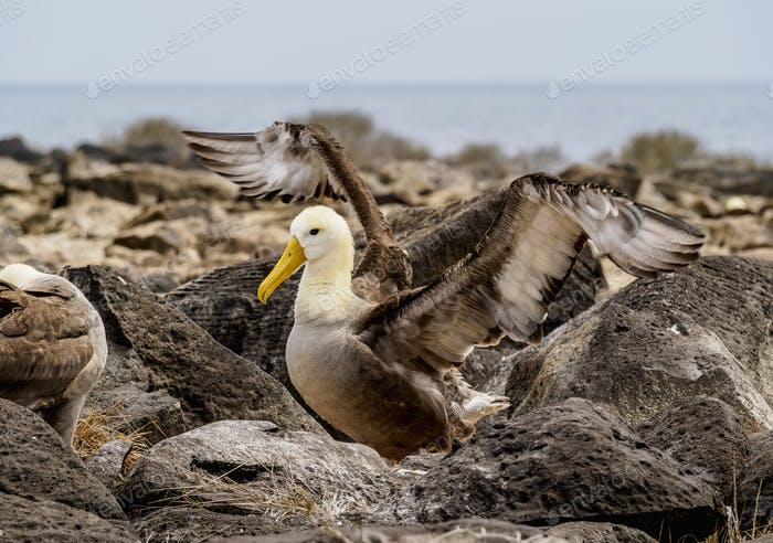 Waved albatross at Espanola Island, Galapagos, Ecuador
