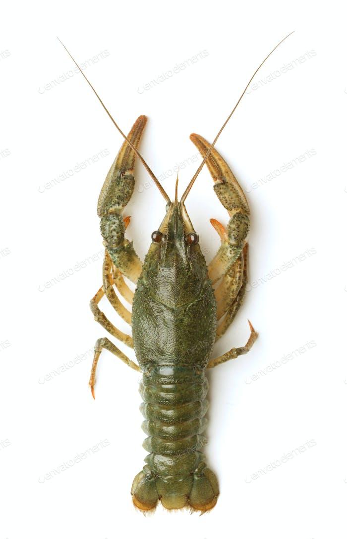 Crawfishe