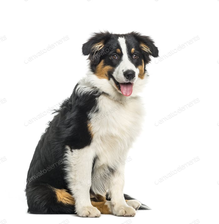 Puppy australian Shepherd sitting and panting, cut out