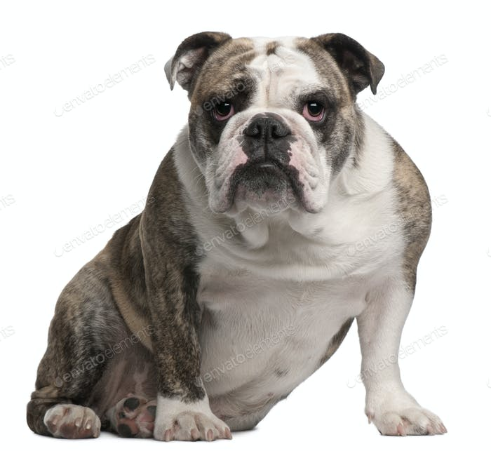 English bulldog, 18 months old, sitting in front of white background