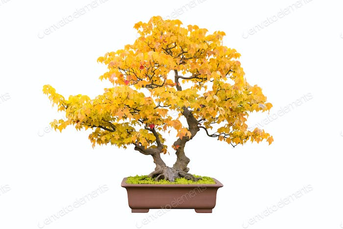 bonsai tree of trident maple in autumn