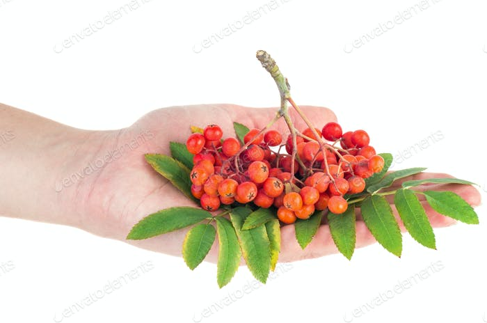 Hand hold ashberry cluster