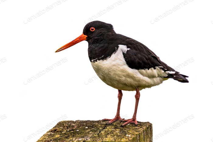 Pied Oystercatcher white background