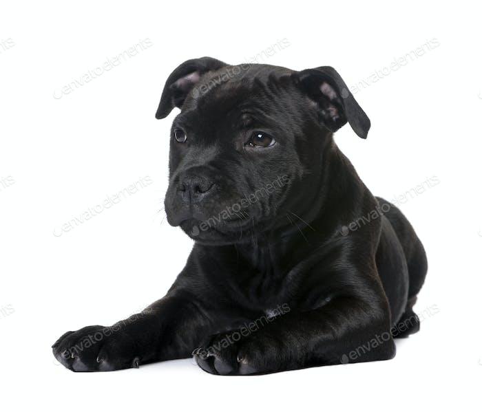 puppy Staffordshire Bull Terrier (2 months)