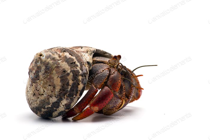 The hermit crab isolated on white background