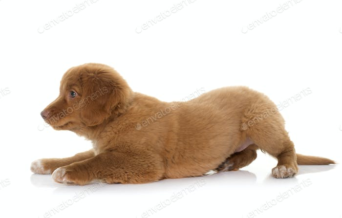puppy Nova Scotia Duck Tolling Retriever