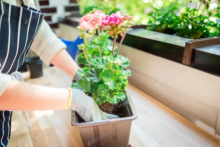 Balcony gardening while spring, woman plants flowers at home
