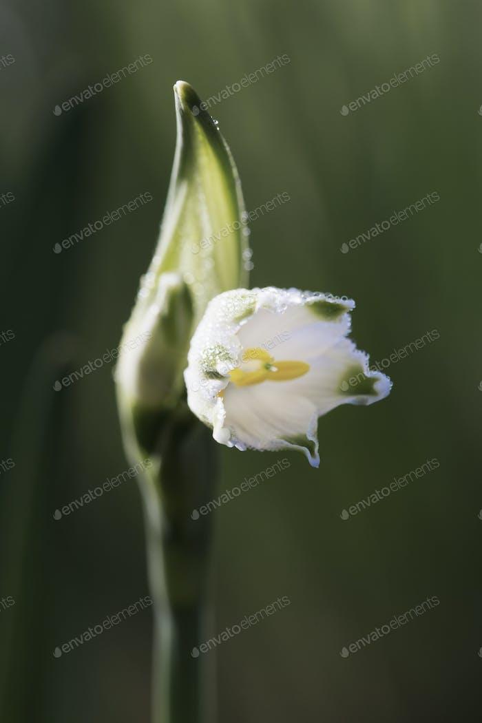 Kleine weiße Blume auf einem grünen Stiel. Schneeglöckchen.
