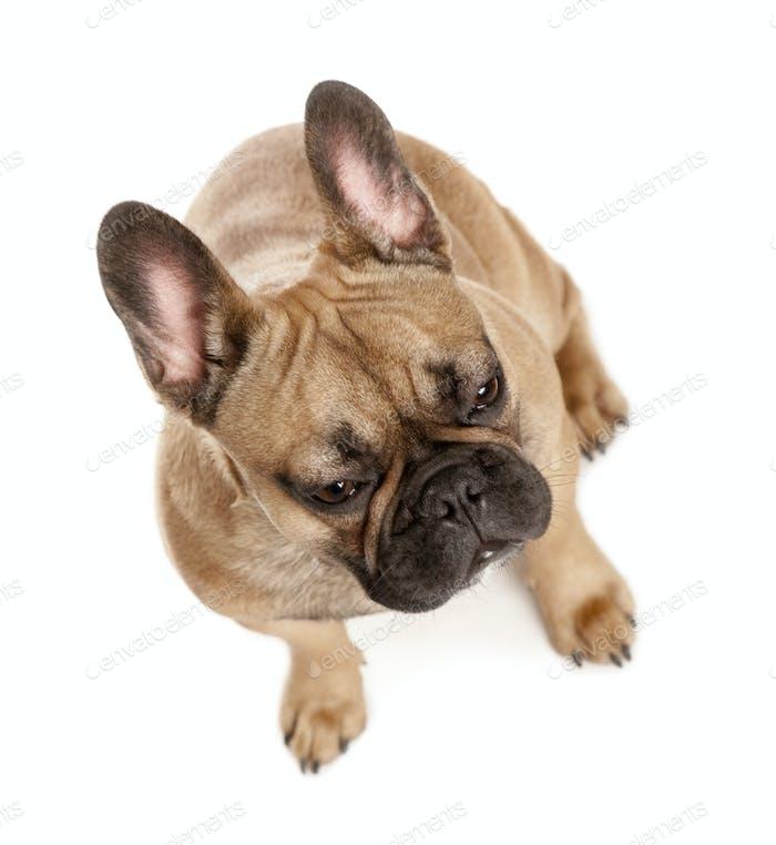 High angle view of French bulldog, studio shot