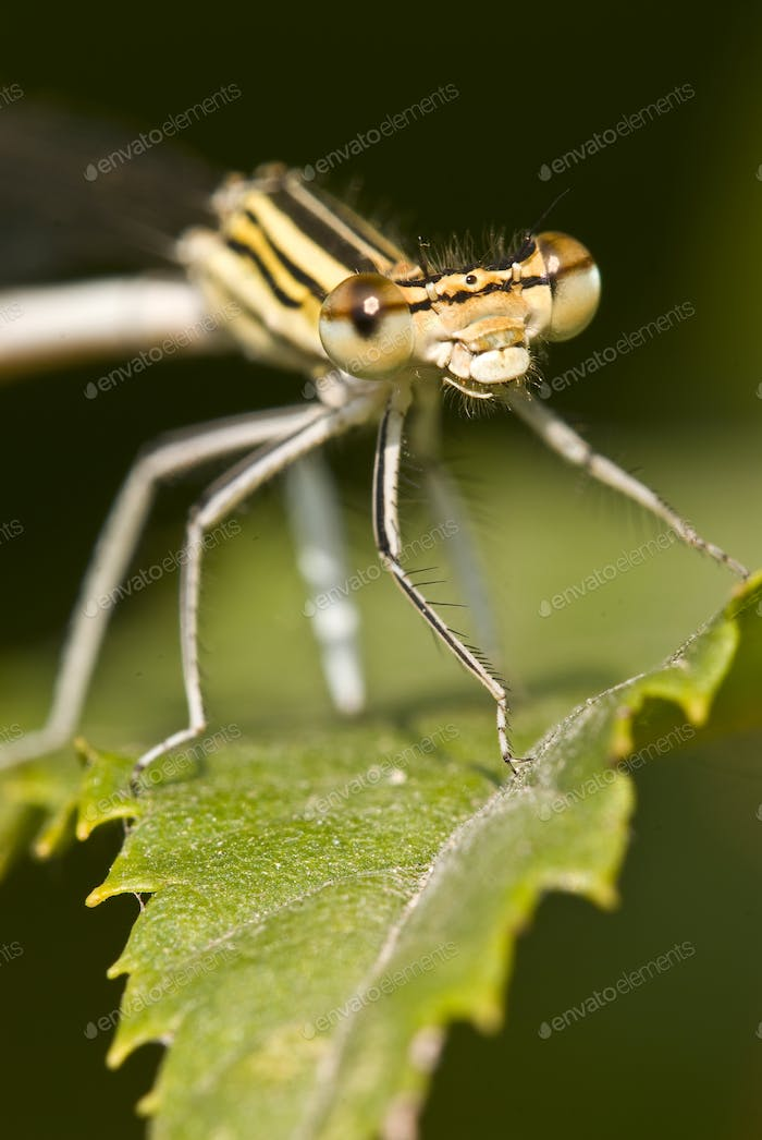 Female Damselfly
