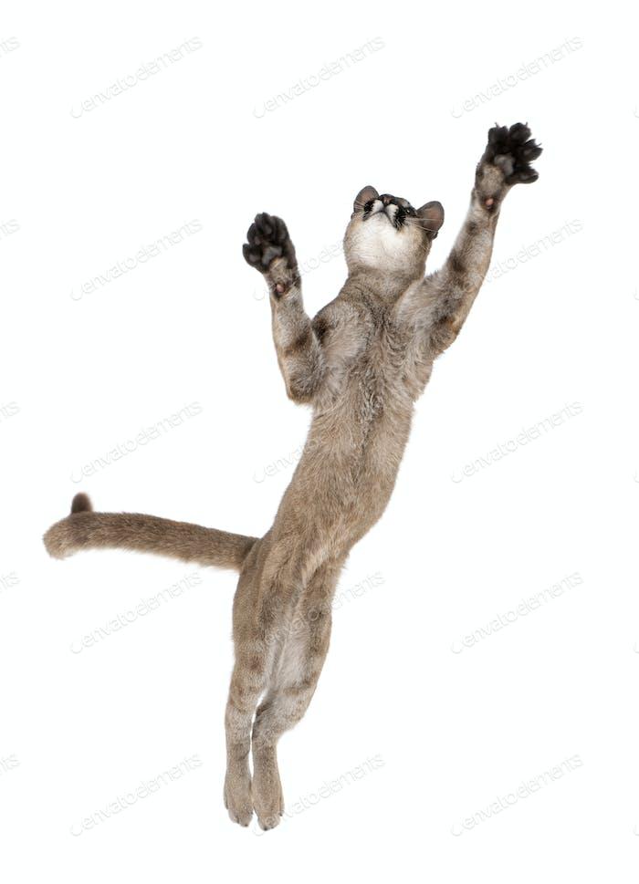 Puma cub - Puma concolor (1 Año de edad)