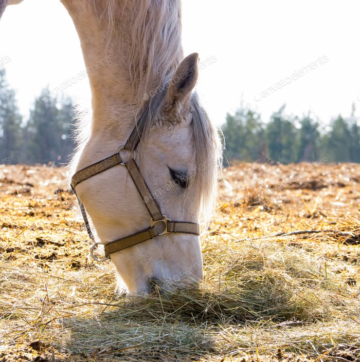 Female horse eating dry hay