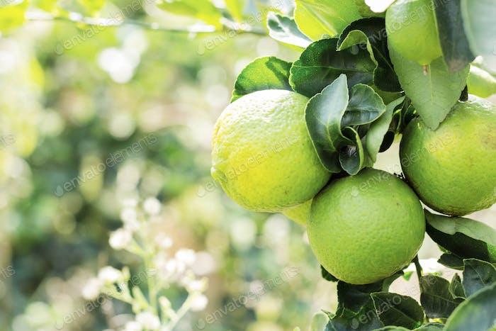 Lemon on tree