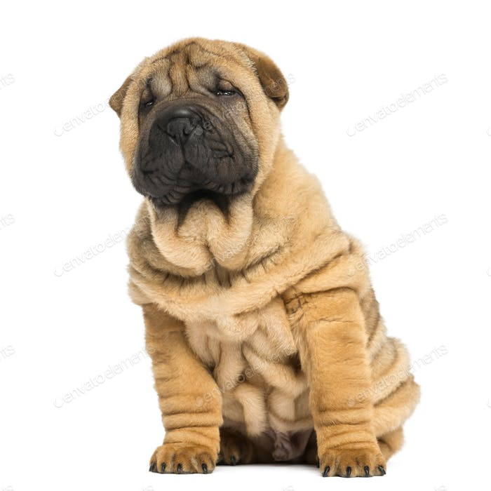 front view of a Shar pei puppy sitting and looking away (11 weeks old) isolated on white