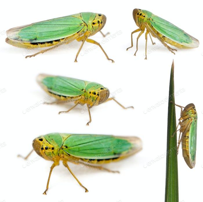 Grüne Blatthoppers - Cicadella viridis