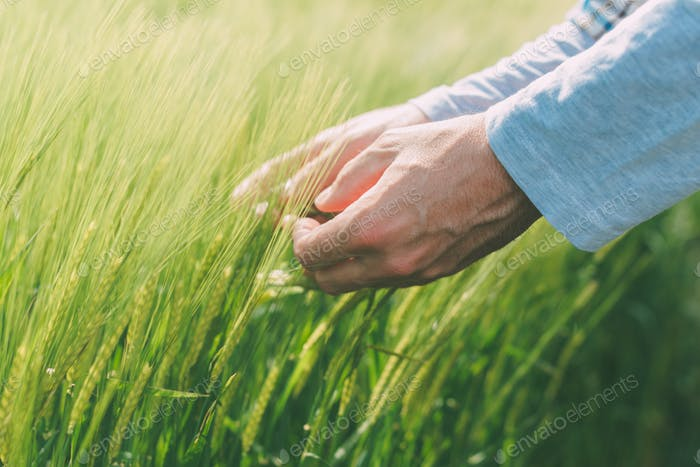 Hands and green green wheat ears