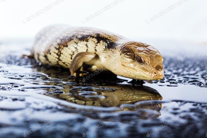 Australian blue tongued lizard in wet dark shiny environement