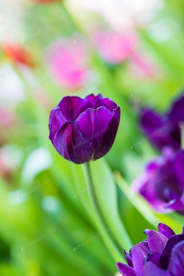 Purple tulips in the garden-6